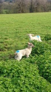 Spring lamb woodland