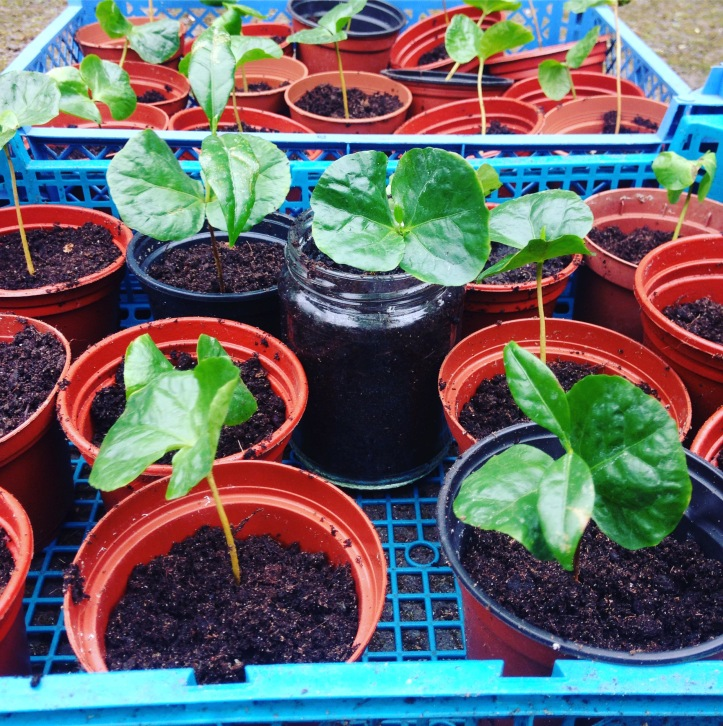 potted coffee plants